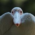 070724_tama_pelican_t_01