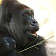 070916_gorilla_y_01