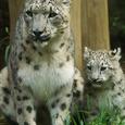 Snow_leopard_t_08